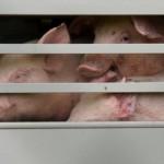 Tierschutz-Schwein-0245-Ferkel-Mast-150x150